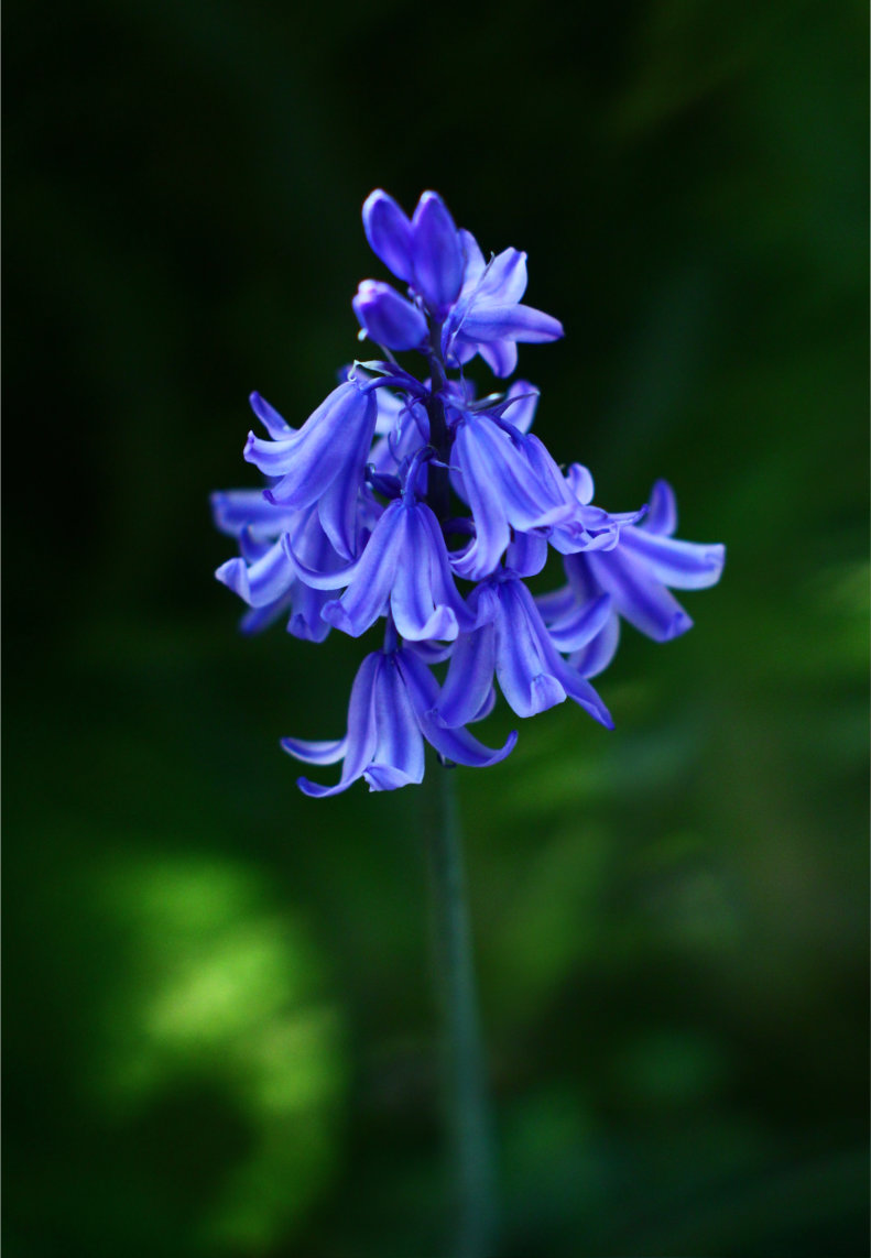 A single bluebell