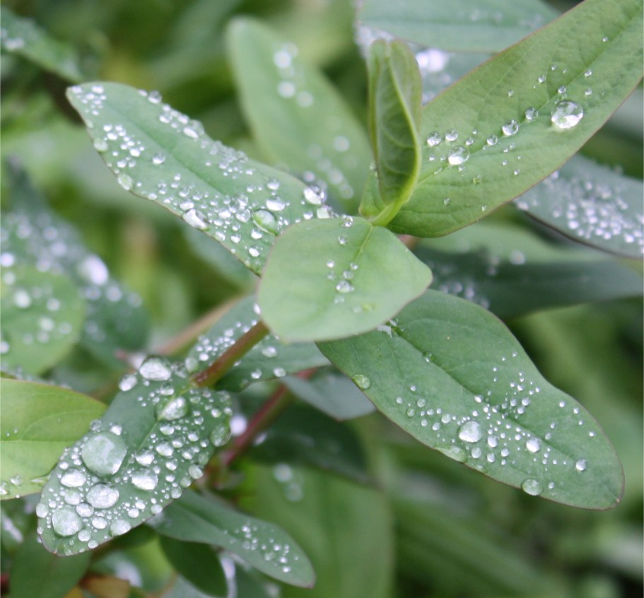 Fresh young green leaves with water droplets
