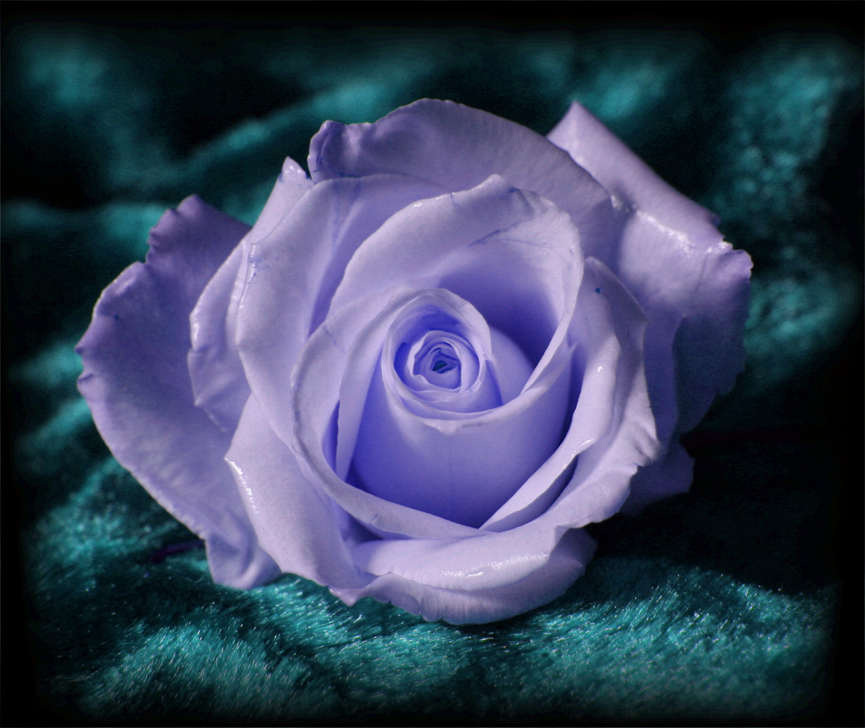 Blue Rose on Turquoise Background