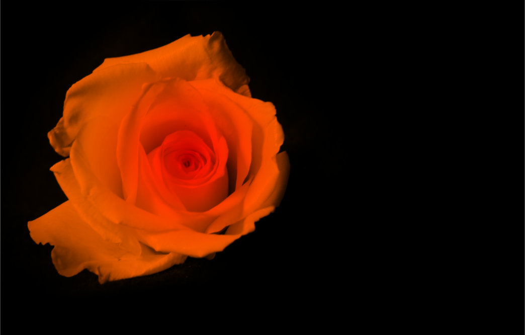 Orange Rose for Facebook blank