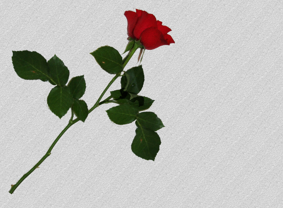 Single Red Rose on White Facebook Blank