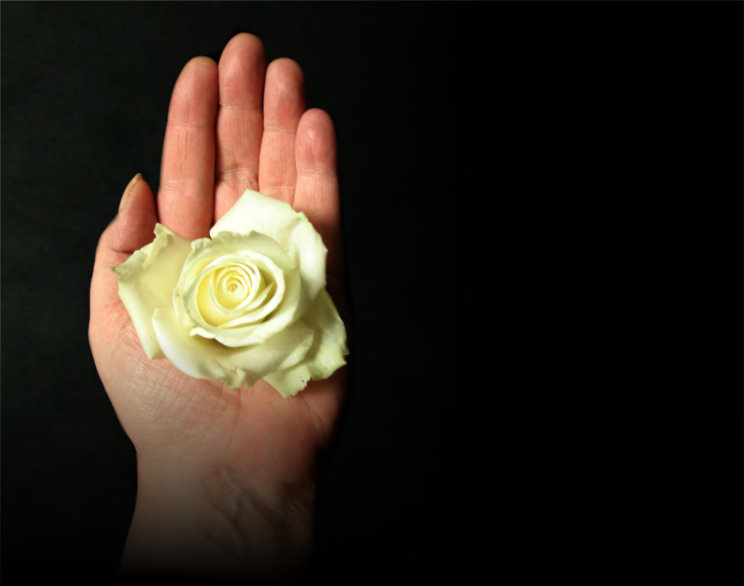 White Rose In The Hand Facebook Blank