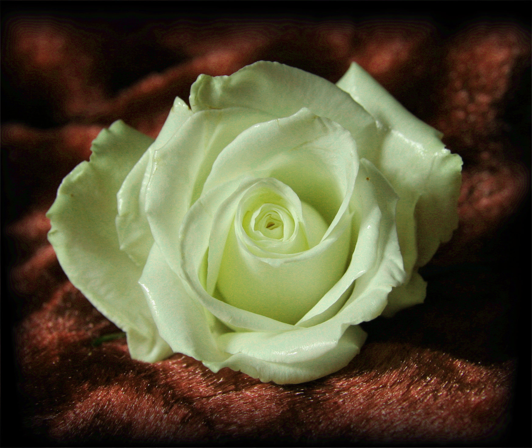White Rose On Brown