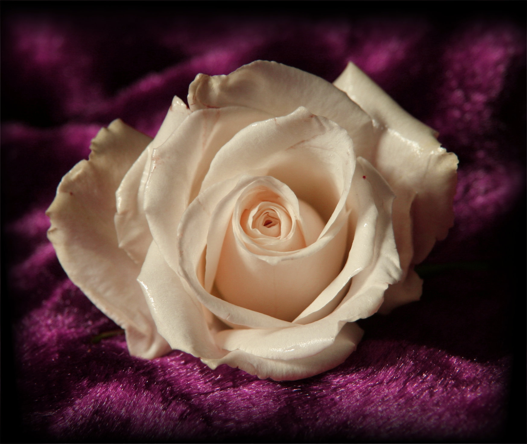 White Rose On Purple