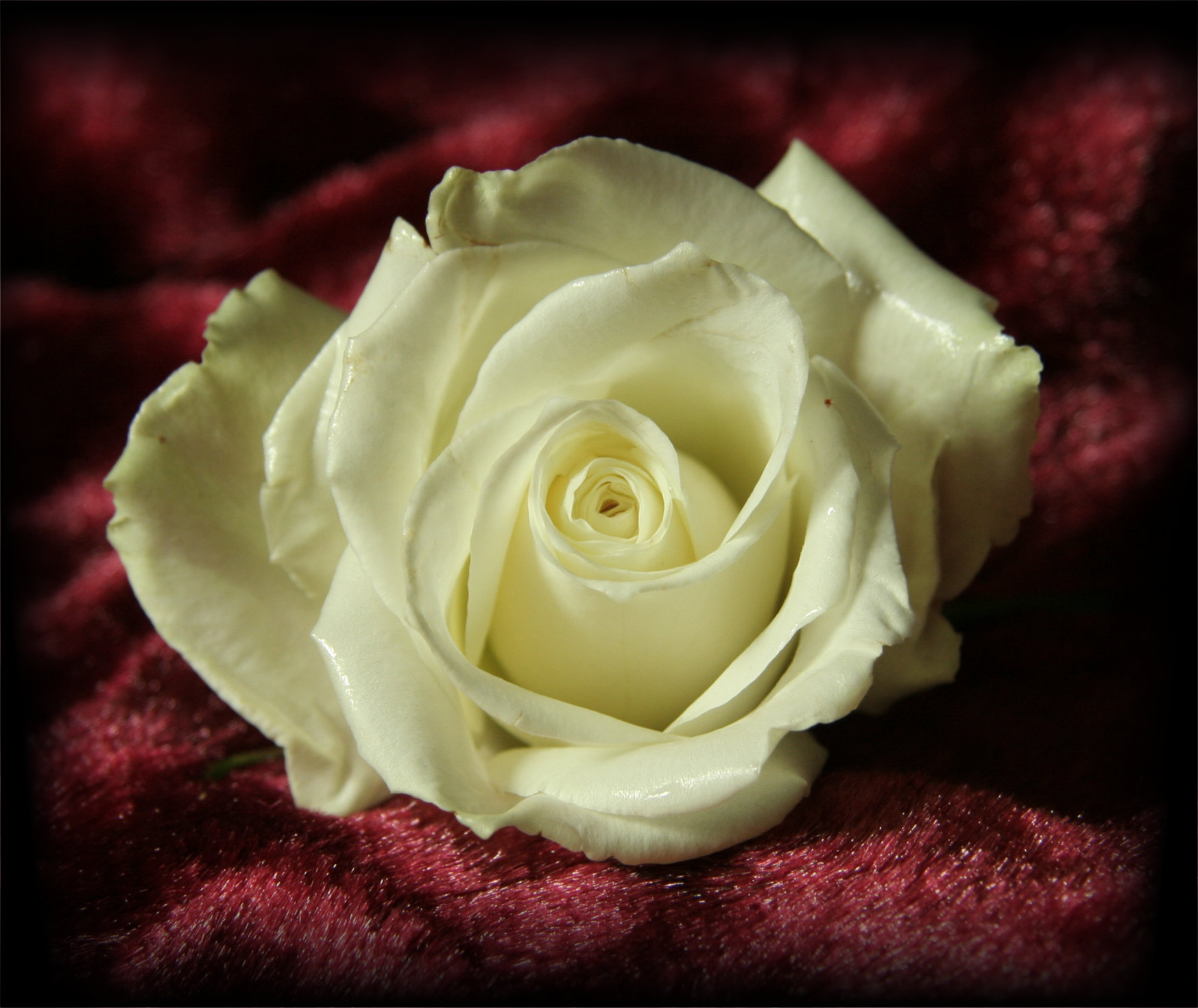 White Rose On Red